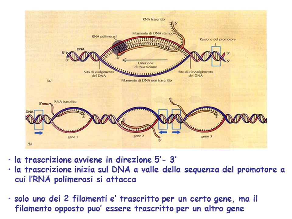 la trascrizione avviene in direzione 5'- 3' la trascrizione inizia sul DNA a valle della sequenza del promotore a cui l'RNA polimerasi si attacca solo uno dei 2 filamenti e' trascritto per un certo gene, ma il filamento opposto puo' essere trascritto per un altro gene