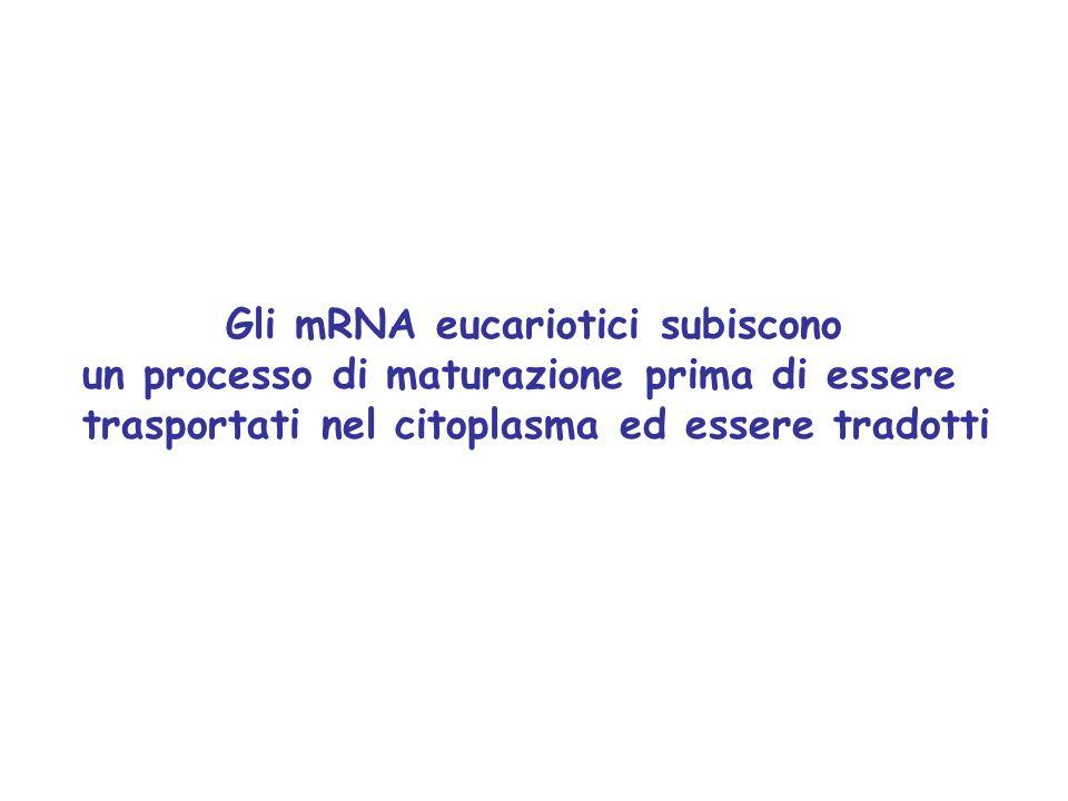 Gli mRNA eucariotici subiscono un processo di maturazione prima di essere trasportati nel citoplasma ed essere tradotti