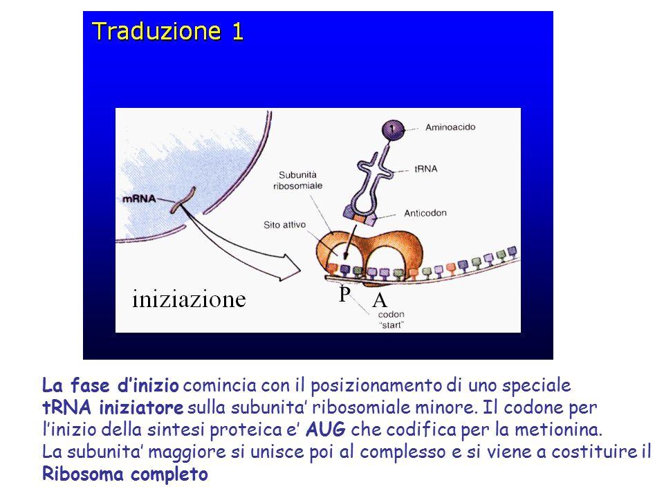 P A La fase d'inizio comincia con il posizionamento di uno speciale tRNA iniziatore sulla subunita' ribosomiale minore.