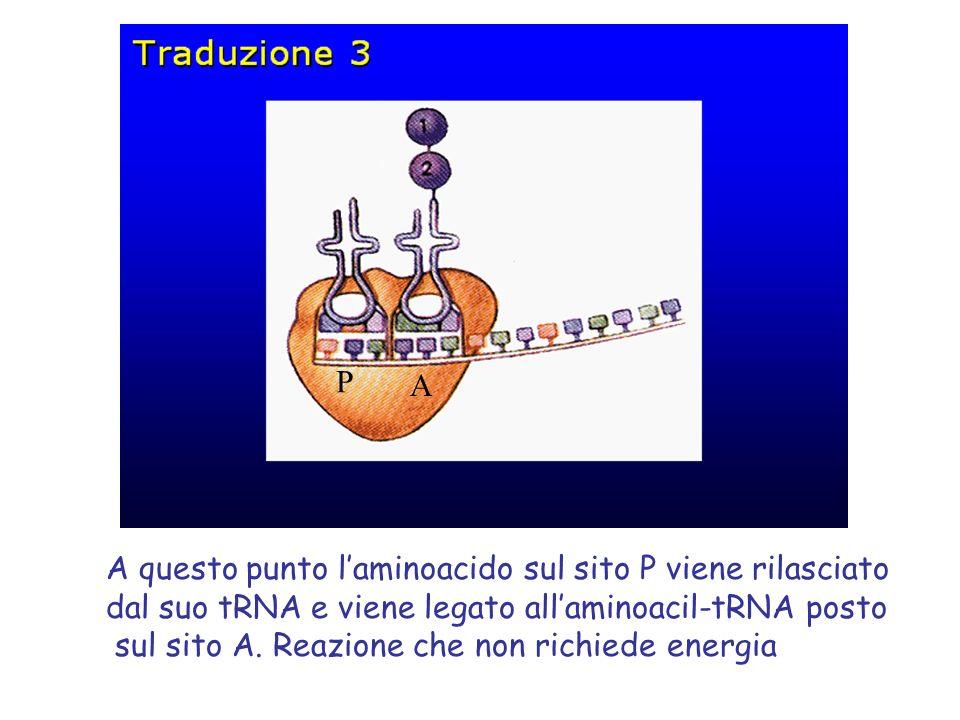 P A A questo punto l'aminoacido sul sito P viene rilasciato dal suo tRNA e viene legato all'aminoacil-tRNA posto sul sito A.