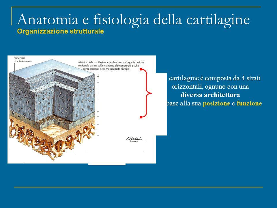 Anatomia e fisiologia della cartilagine Organizzazione strutturale Superficiale Di transizione Profondo Calcificato Osso subcondrale Osso spongioso La