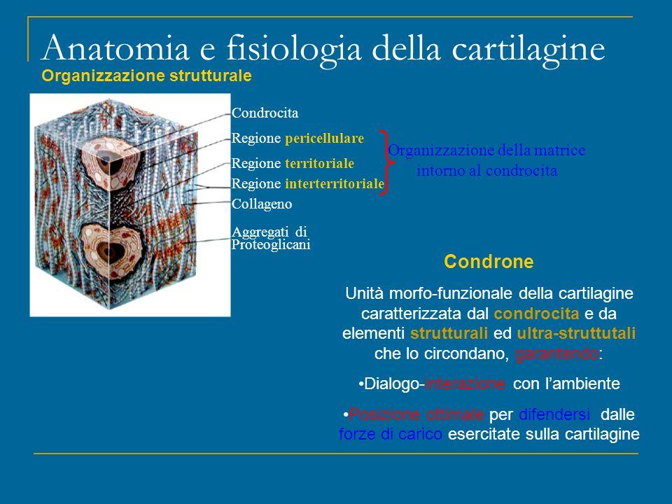 Condrocita Regione pericellulare Regione territoriale Regione interterritoriale Collageno Aggregati di Proteoglicani Anatomia e fisiologia della carti