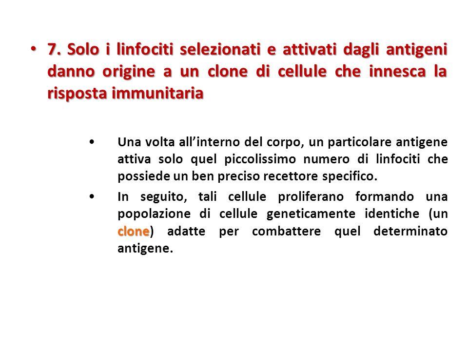 7. Solo i linfociti selezionati e attivati dagli antigeni danno origine a un clone di cellule che innesca la risposta immunitaria 7. Solo i linfociti