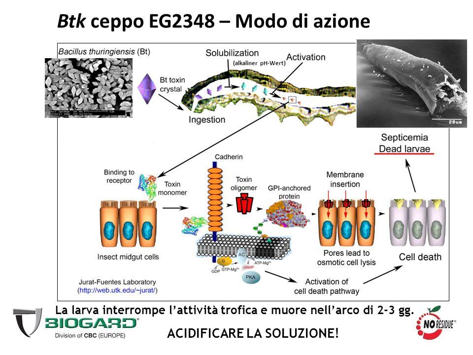 La larva interrompe l'attività trofica e muore nell'arco di 2-3 gg. ACIDIFICARE LA SOLUZIONE! Btk ceppo EG2348 – Modo di azione (alkaliner pH-Wert)