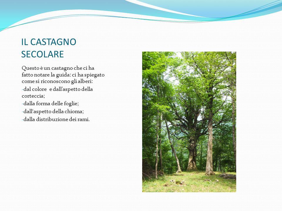 IL CASTAGNO SECOLARE Questo è un castagno che ci ha fatto notare la guida: ci ha spiegato come si riconoscono gli alberi: - dal colore e dall'aspetto