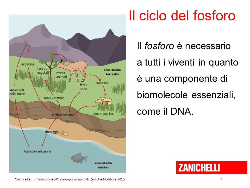 14 Curtis et al. Introduzione alla biologia.azzurro © Zanichelli Editore 2015 Il ciclo del fosforo Il fosforo è necessario a tutti i viventi in quanto