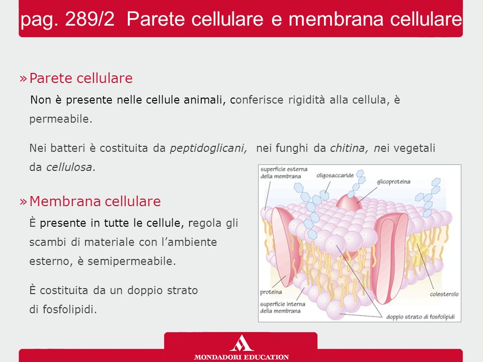»Parete cellulare Non è presente nelle cellule animali, conferisce rigidità alla cellula, è permeabile. Nei batteri è costituita da peptidoglicani, ne