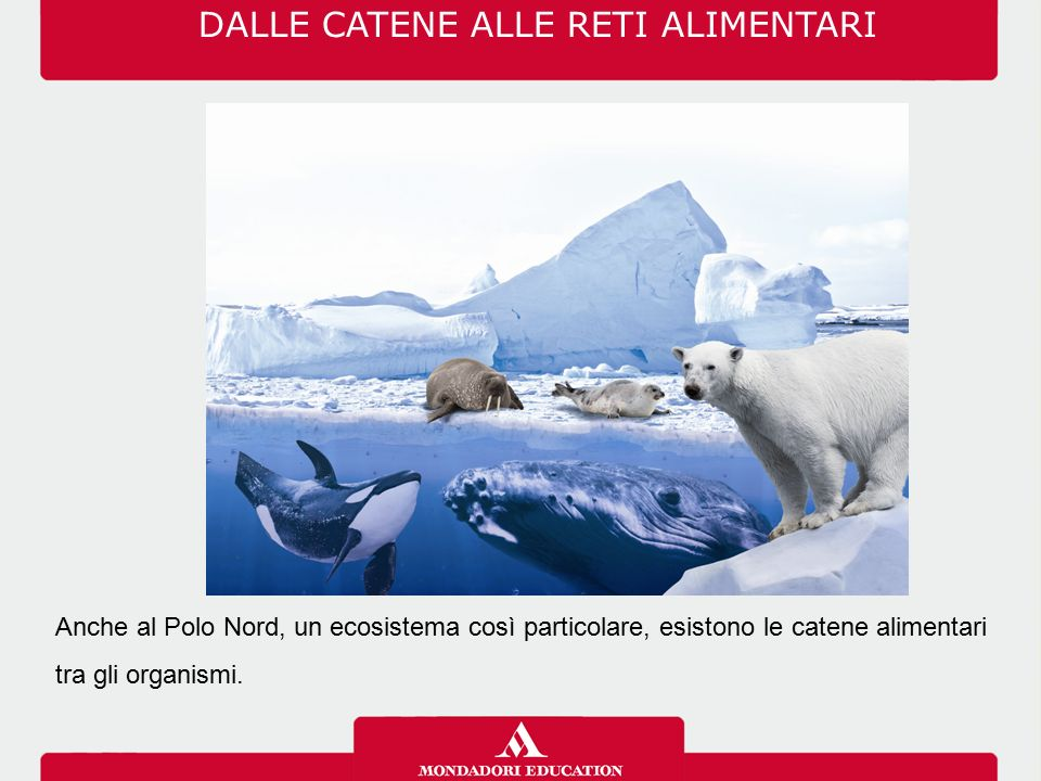 DALLE CATENE ALLE RETI ALIMENTARI Anche al Polo Nord, un ecosistema così particolare, esistono le catene alimentari tra gli organismi.