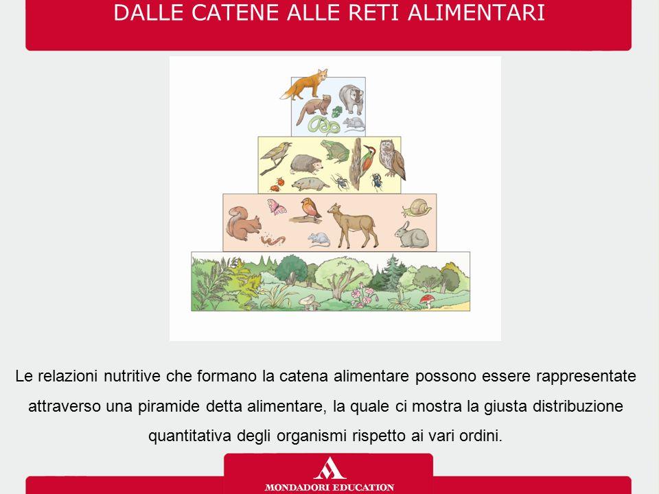 DALLE CATENE ALLE RETI ALIMENTARI Le relazioni nutritive che formano la catena alimentare possono essere rappresentate attraverso una piramide detta alimentare, la quale ci mostra la giusta distribuzione quantitativa degli organismi rispetto ai vari ordini.