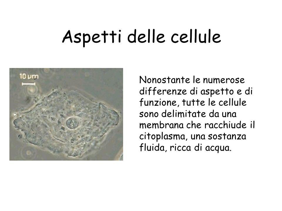 Nonostante le numerose differenze di aspetto e di funzione, tutte le cellule sono delimitate da una membrana che racchiude il citoplasma, una sostanza