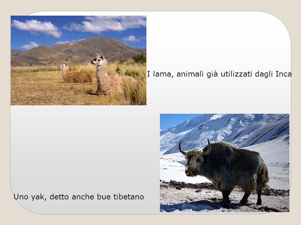 I lama, animali già utilizzati dagli Inca Uno yak, detto anche bue tibetano