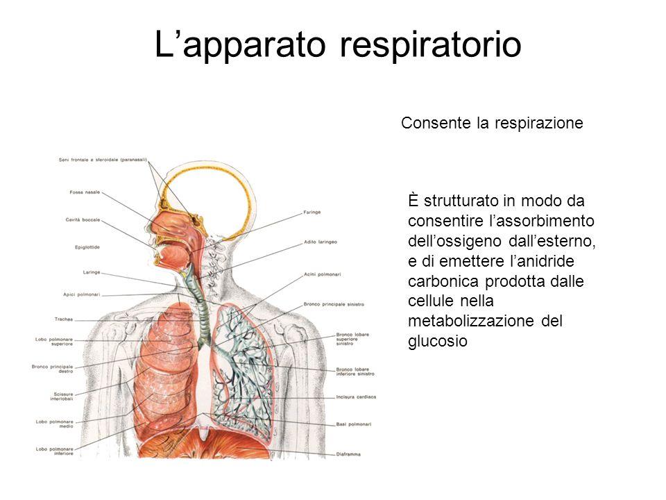 L'apparato respiratorio Consente la respirazione È strutturato in modo da consentire l'assorbimento dell'ossigeno dall'esterno, e di emettere l'anidride carbonica prodotta dalle cellule nella metabolizzazione del glucosio