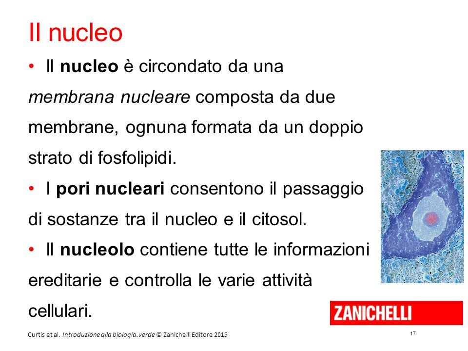 17 Curtis et al. Introduzione alla biologia.verde © Zanichelli Editore 2015 Il nucleo Il nucleo è circondato da una membrana nucleare composta da due