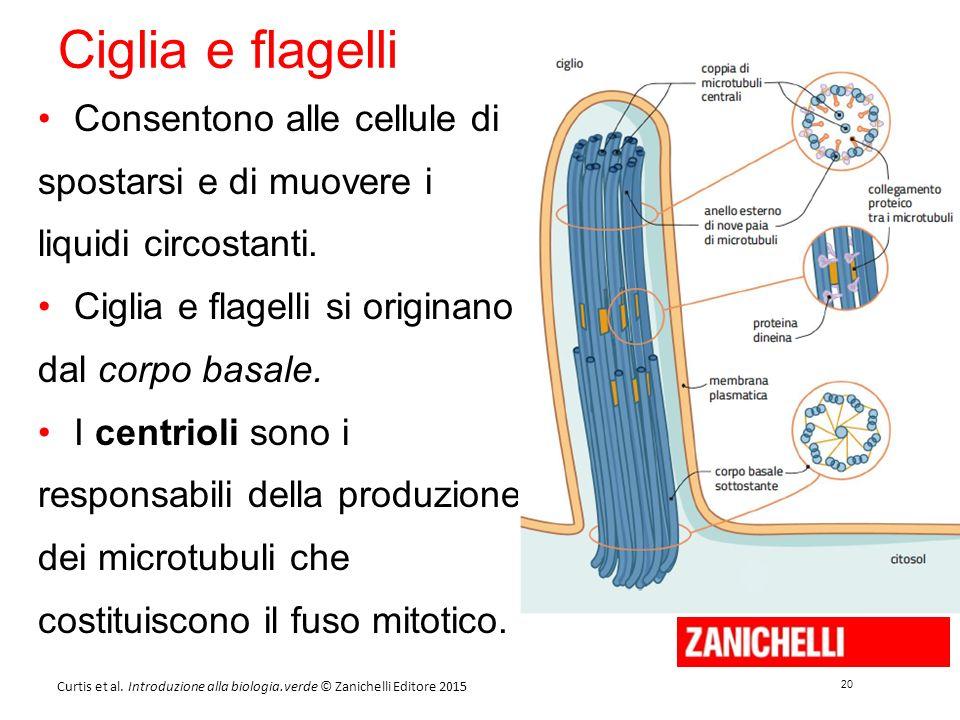 20 Curtis et al. Introduzione alla biologia.verde © Zanichelli Editore 2015 Ciglia e flagelli Consentono alle cellule di spostarsi e di muovere i liqu