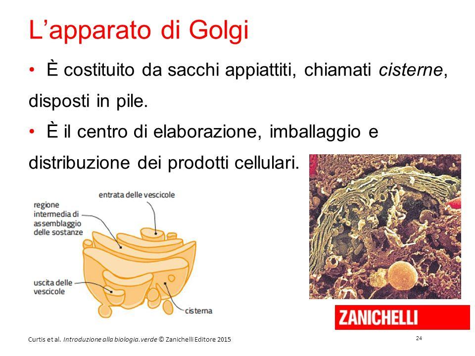 24 Curtis et al. Introduzione alla biologia.verde © Zanichelli Editore 2015 L'apparato di Golgi È costituito da sacchi appiattiti, chiamati cisterne,