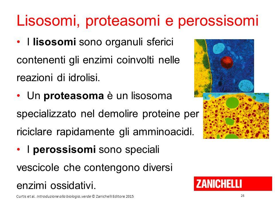 25 Curtis et al. Introduzione alla biologia.verde © Zanichelli Editore 2015 Lisosomi, proteasomi e perossisomi I lisosomi sono organuli sferici conten