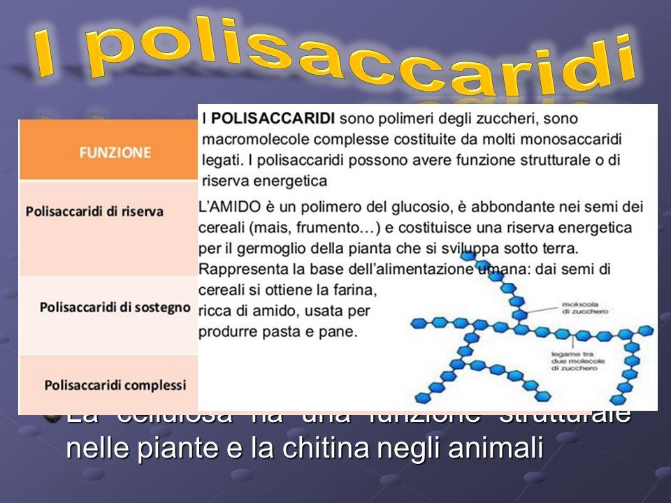 I polisaccaridi sono polimeri di zuccheri semplici formati da più di 20 unità ripetitive insolubili in acqua Hanno funzione di riserva e strutturale Gli amidi hanno funzione di riserva nei vegetali mentre il glicogeno svolge la stessa funzione negli animali La cellulosa ha una funzione strutturale nelle piante e la chitina negli animali