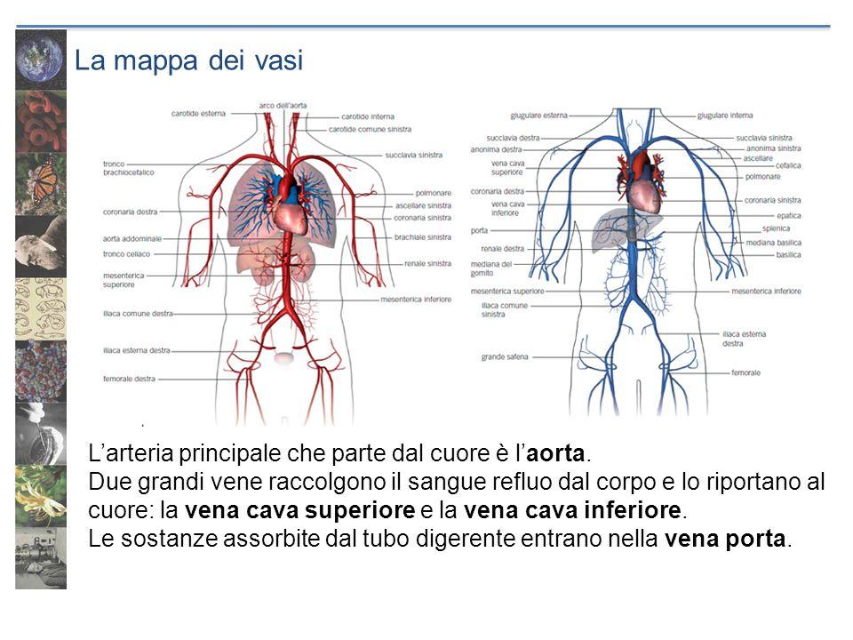La mappa dei vasi Larteria principale che parte dal cuore è laorta. Due grandi vene raccolgono il sangue refluo dal corpo e lo riportano al cuore: la