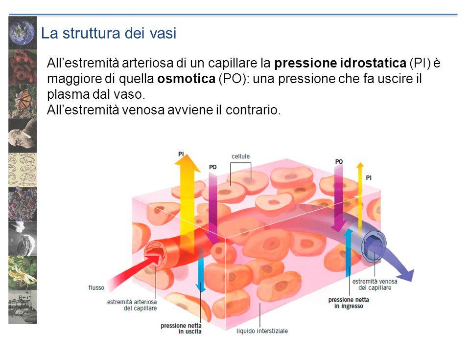 La struttura dei vasi Allestremità arteriosa di un capillare la pressione idrostatica (PI) è maggiore di quella osmotica (PO): una pressione che fa us