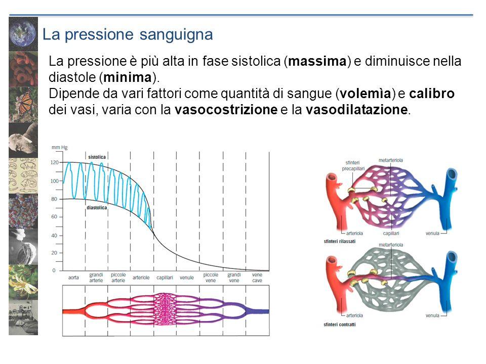 La pressione sanguigna La pressione è più alta in fase sistolica (massima) e diminuisce nella diastole (minima). Dipende da vari fattori come quantità
