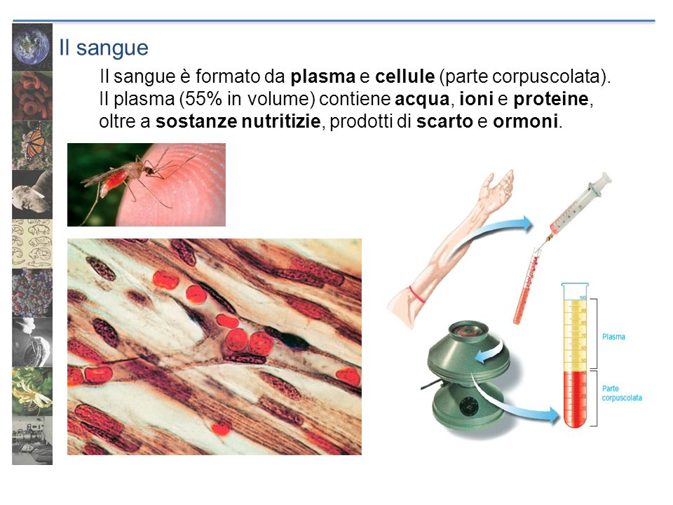 Il sangue Il sangue è formato da plasma e cellule (parte corpuscolata). Il plasma (55% in volume) contiene acqua, ioni e proteine, oltre a sostanze nu