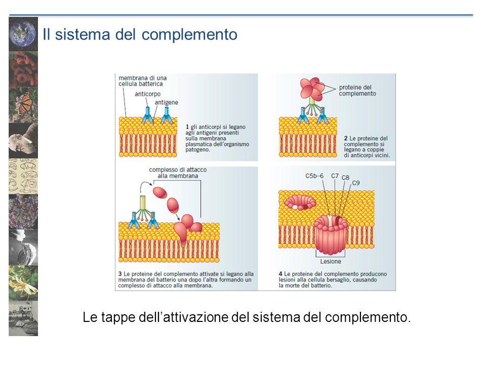 Il sistema del complemento Le tappe dellattivazione del sistema del complemento.