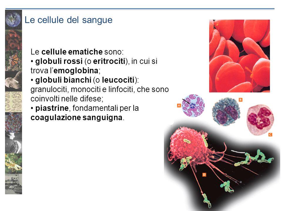 Le cellule del sangue Le cellule ematiche sono: globuli rossi (o eritrociti), in cui si trova lemoglobina; globuli bianchi (o leucociti): granulociti,