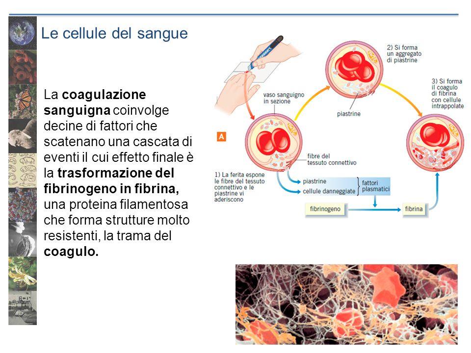 Le cellule del sangue La coagulazione sanguigna coinvolge decine di fattori che scatenano una cascata di eventi il cui effetto finale è la trasformazi