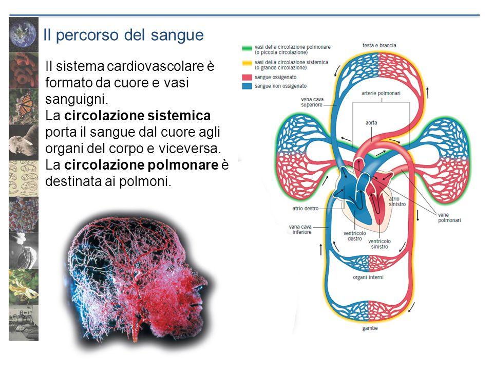 Il percorso del sangue Il sistema cardiovascolare è formato da cuore e vasi sanguigni. La circolazione sistemica porta il sangue dal cuore agli organi