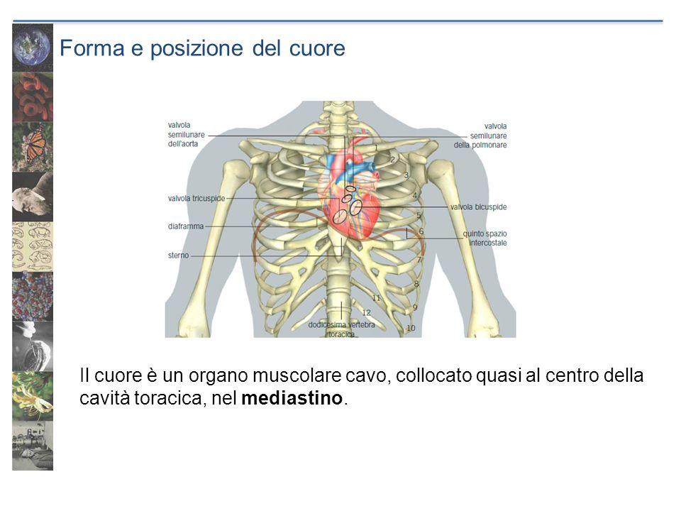Forma e posizione del cuore Il cuore è diviso in due parti e quattro cavità: due atri e due ventricoli.