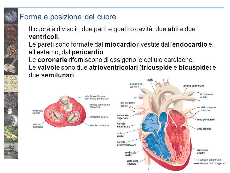 Forma e posizione del cuore Il cuore è diviso in due parti e quattro cavità: due atri e due ventricoli. Le pareti sono formate dal miocardio rivestite