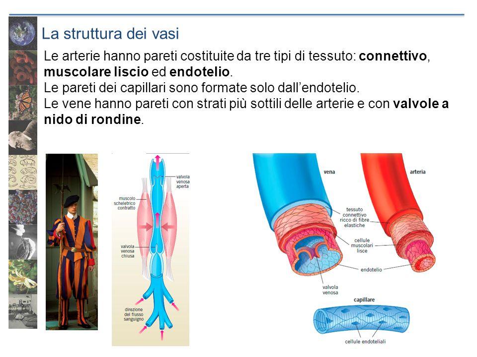La struttura dei vasi Le arterie hanno pareti costituite da tre tipi di tessuto: connettivo, muscolare liscio ed endotelio. Le pareti dei capillari so