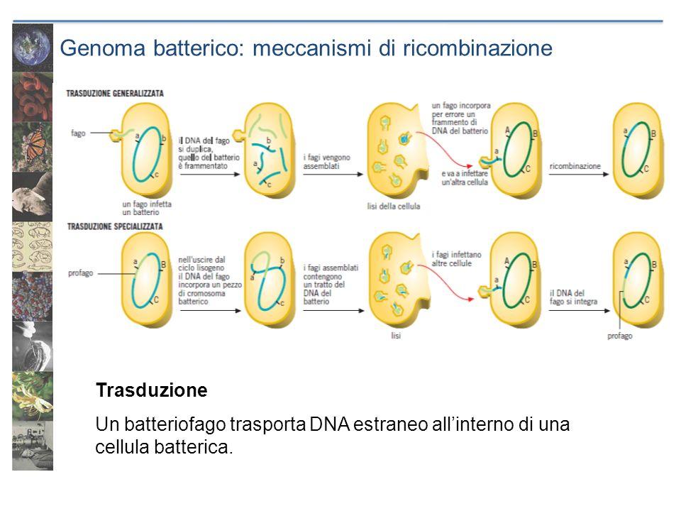 Genoma batterico: meccanismi di ricombinazione Trasduzione Un batteriofago trasporta DNA estraneo allinterno di una cellula batterica.