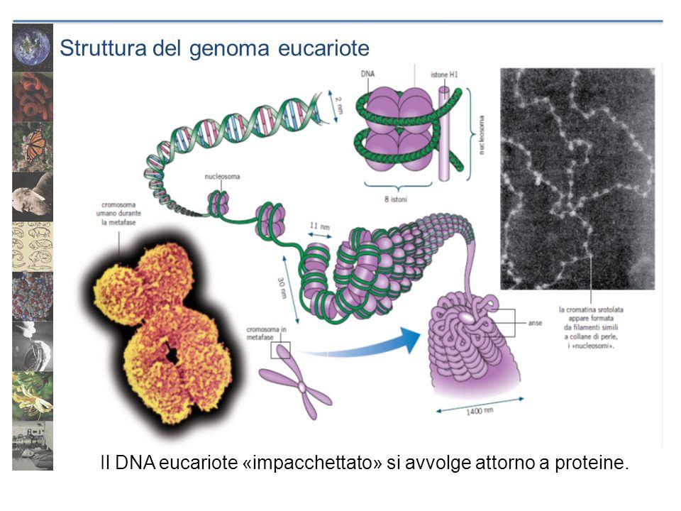 Struttura del genoma eucariote Il DNA eucariote «impacchettato» si avvolge attorno a proteine.