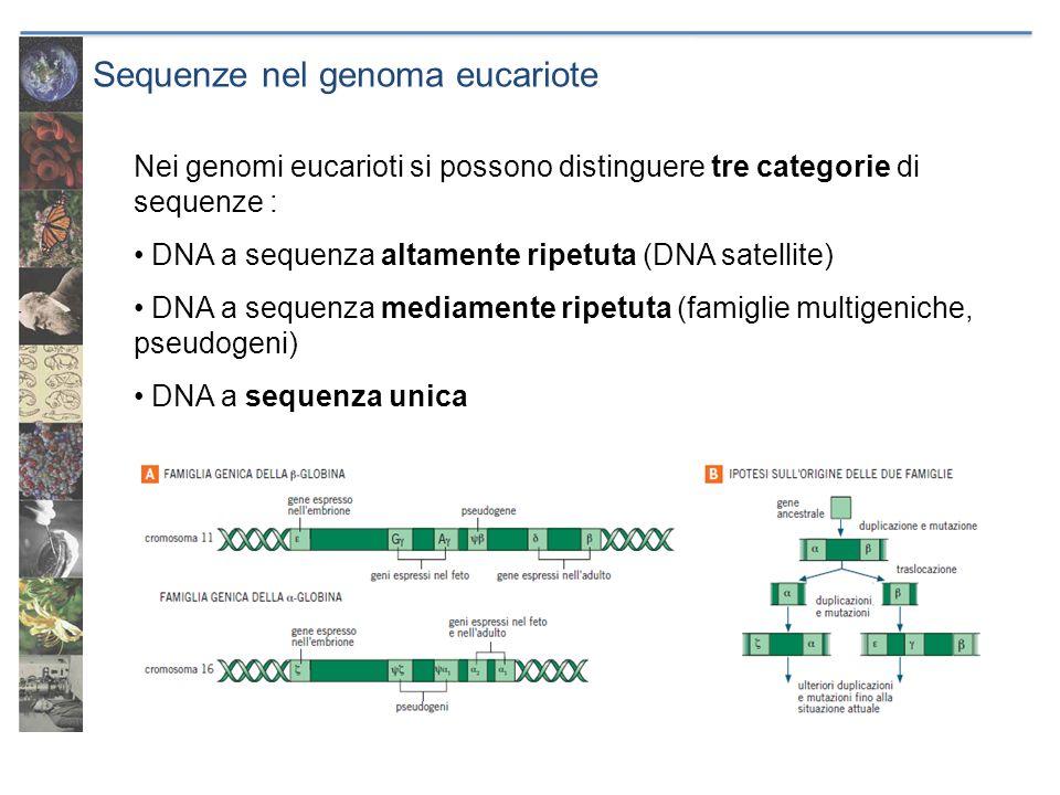 Sequenze nel genoma eucariote Nei genomi eucarioti si possono distinguere tre categorie di sequenze : DNA a sequenza altamente ripetuta (DNA satellite