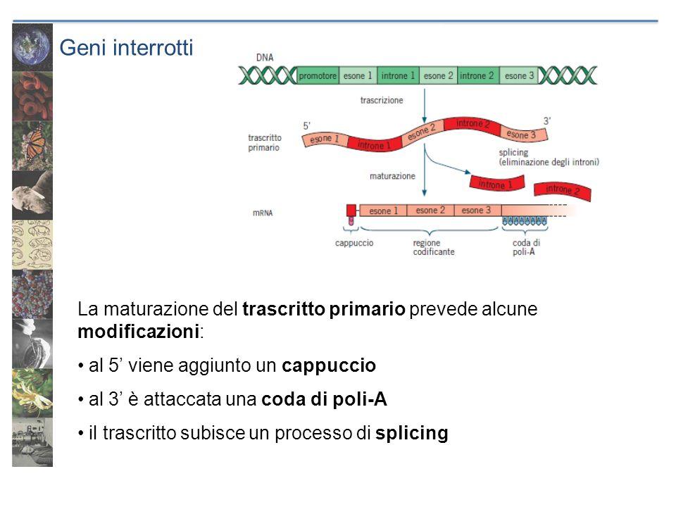 Geni interrotti La maturazione del trascritto primario prevede alcune modificazioni: al 5 viene aggiunto un cappuccio al 3 è attaccata una coda di pol