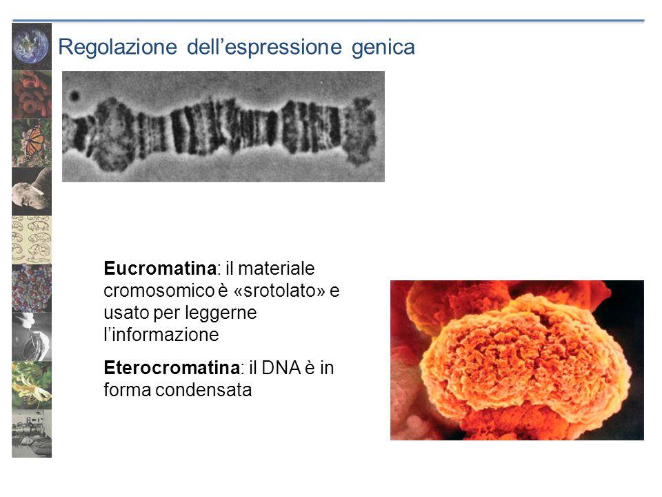 Regolazione dellespressione genica Eucromatina: il materiale cromosomico è «srotolato» e usato per leggerne linformazione Eterocromatina: il DNA è in