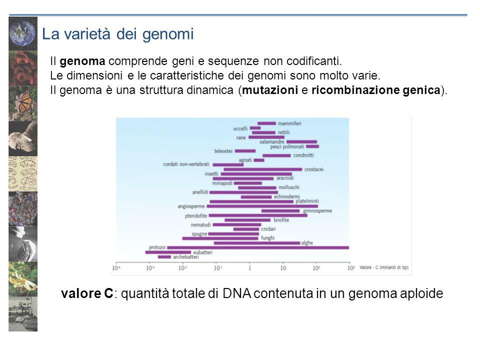 La varietà dei genomi valore C: quantità totale di DNA contenuta in un genoma aploide Il genoma comprende geni e sequenze non codificanti. Le dimensio