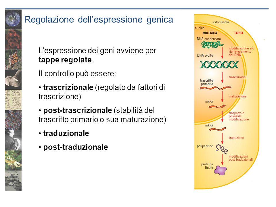 Regolazione dellespressione genica Lespressione dei geni avviene per tappe regolate. Il controllo può essere: trascrizionale (regolato da fattori di t
