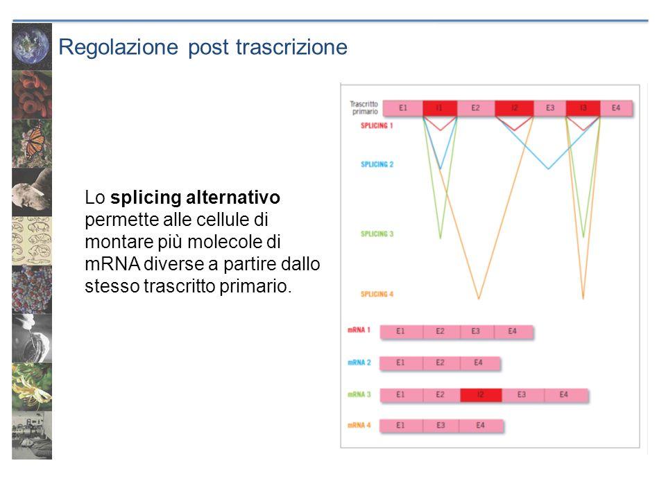Regolazione post trascrizione Lo splicing alternativo permette alle cellule di montare più molecole di mRNA diverse a partire dallo stesso trascritto