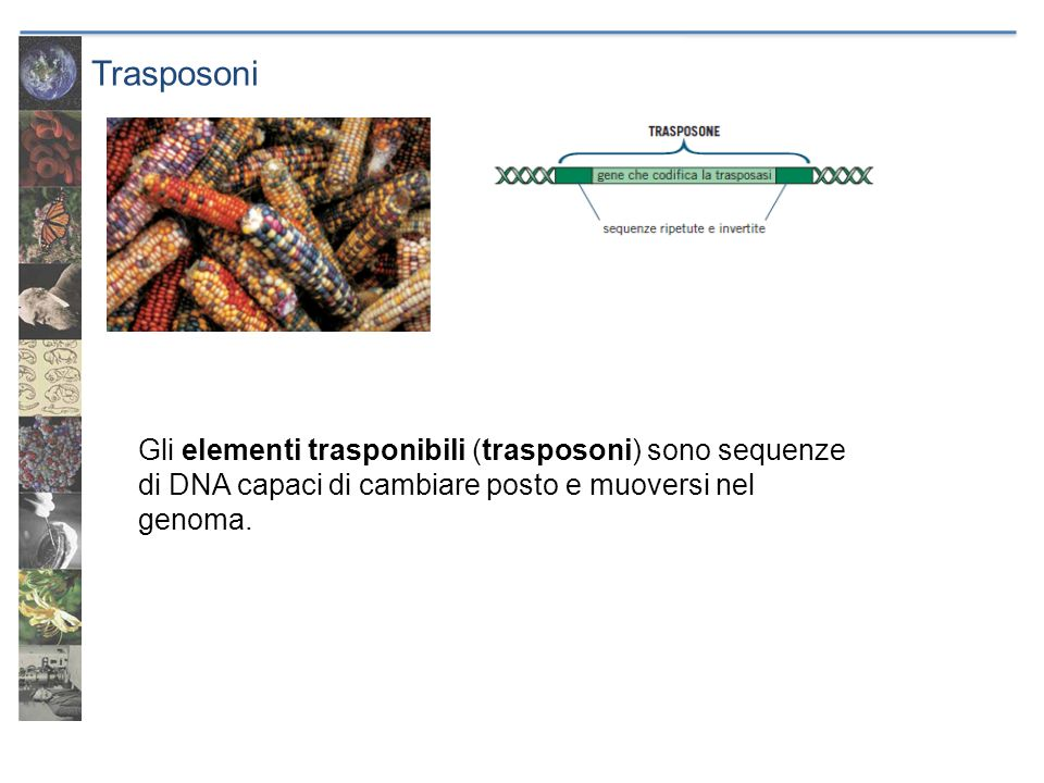 Trasposoni Gli elementi trasponibili (trasposoni) sono sequenze di DNA capaci di cambiare posto e muoversi nel genoma.
