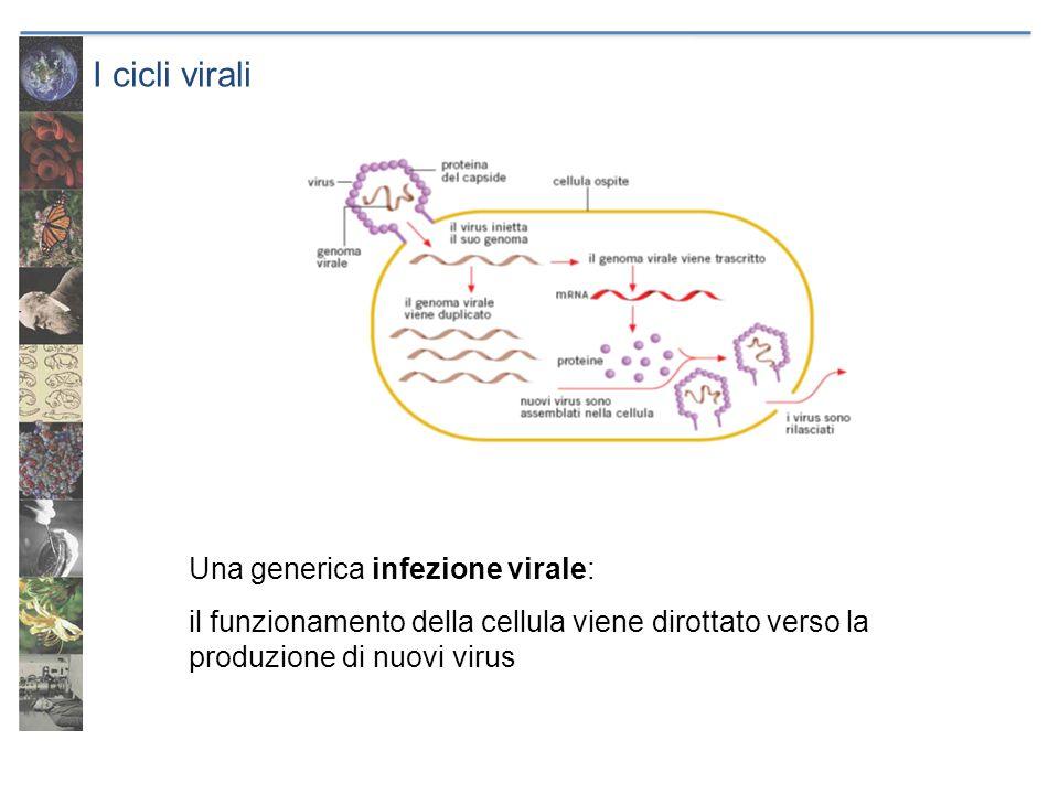 I cicli virali Una generica infezione virale: il funzionamento della cellula viene dirottato verso la produzione di nuovi virus