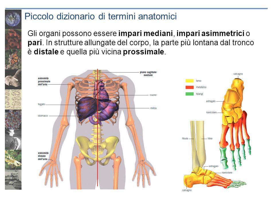 Indagini allinterno del corpo I primi studiosi di anatomia utilizzavano lautopsia.