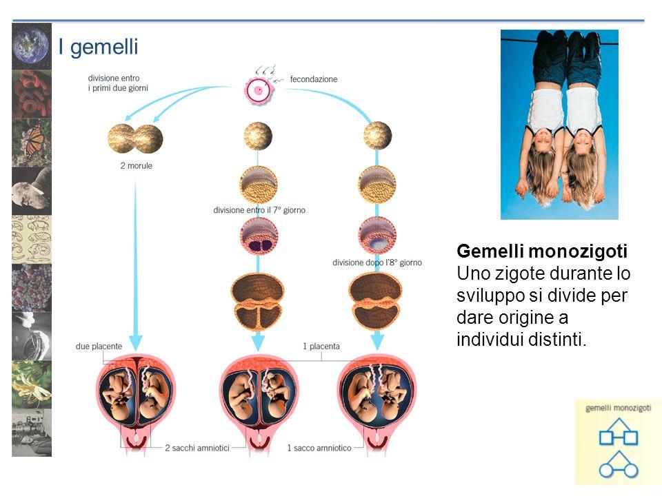 I gemelli Gemelli monozigoti Uno zigote durante lo sviluppo si divide per dare origine a individui distinti.