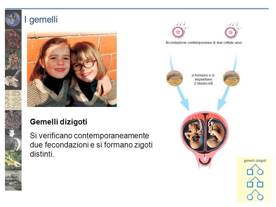 I gemelli Gemelli dizigoti Si verificano contemporaneamente due fecondazioni e si formano zigoti distinti.