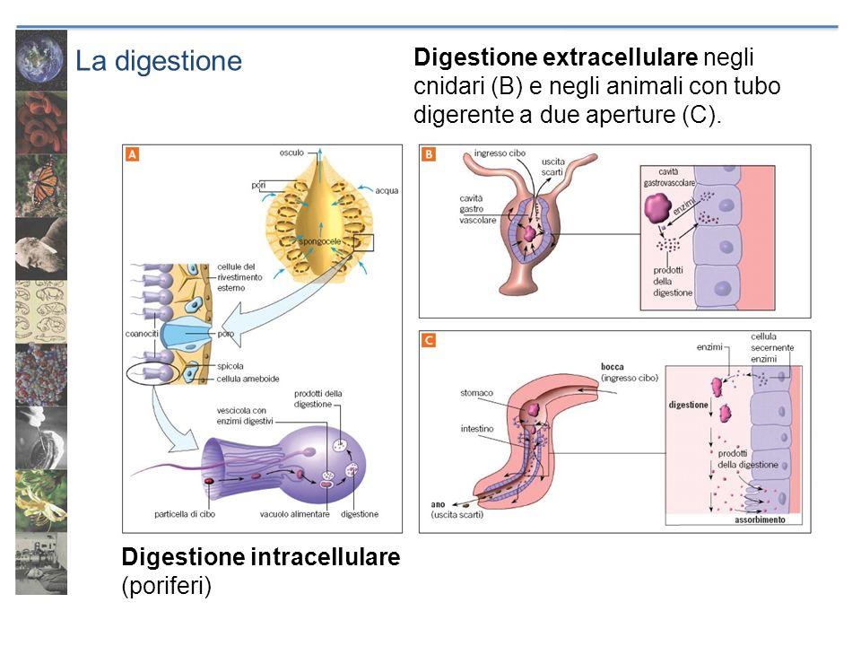 La digestione Digestione intracellulare (poriferi) Digestione extracellulare negli cnidari (B) e negli animali con tubo digerente a due aperture (C).