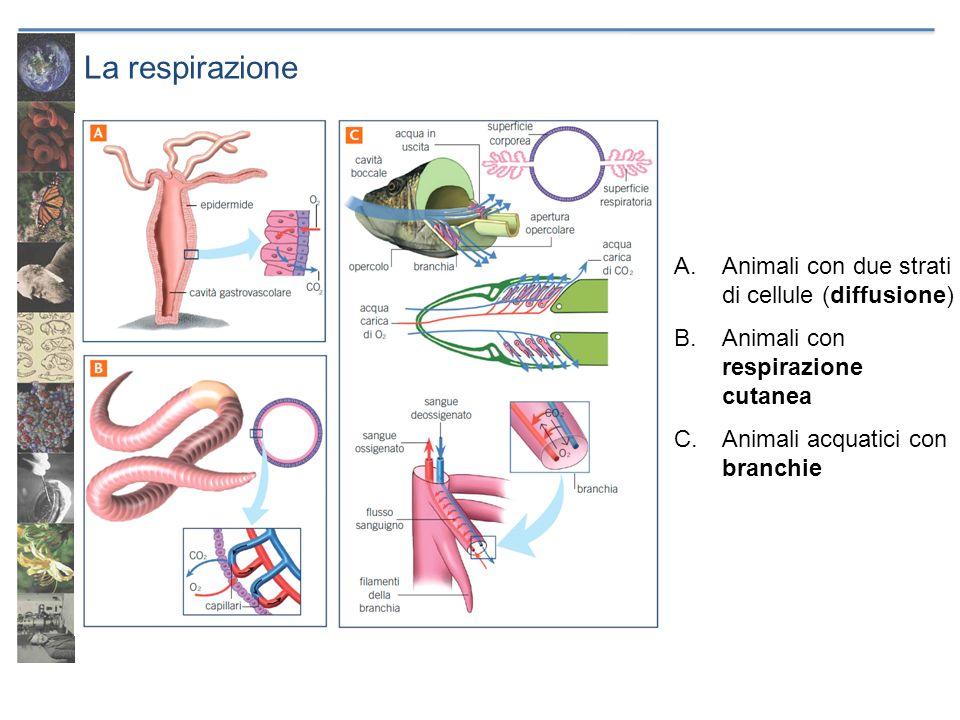 La respirazione A.Animali con due strati di cellule (diffusione) B.Animali con respirazione cutanea C.Animali acquatici con branchie