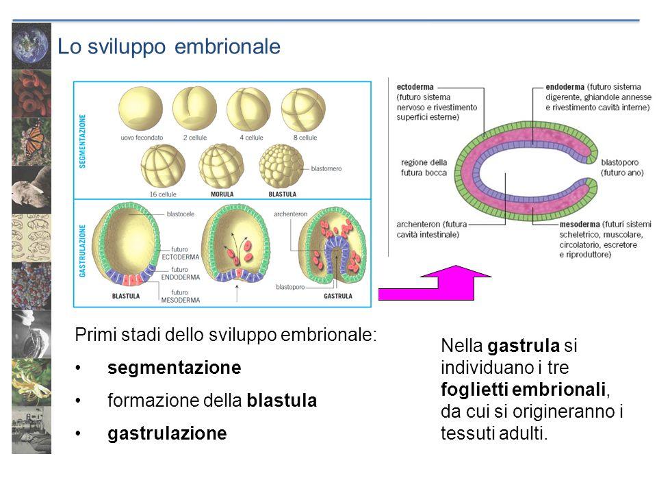 Lo sviluppo embrionale Primi stadi dello sviluppo embrionale: segmentazione formazione della blastula gastrulazione Nella gastrula si individuano i tr