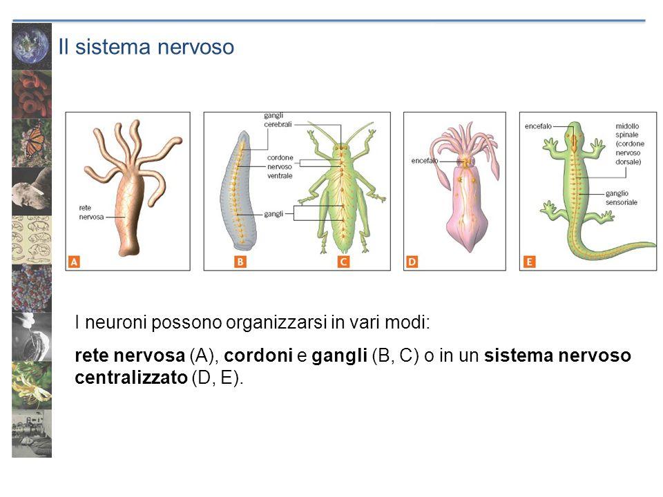 Il sistema nervoso I neuroni possono organizzarsi in vari modi: rete nervosa (A), cordoni e gangli (B, C) o in un sistema nervoso centralizzato (D, E)