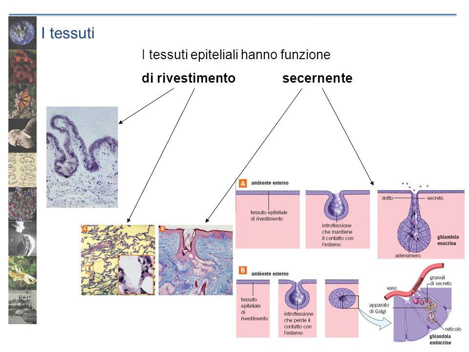 I tessuti I tessuti epiteliali hanno funzione di rivestimentosecernente